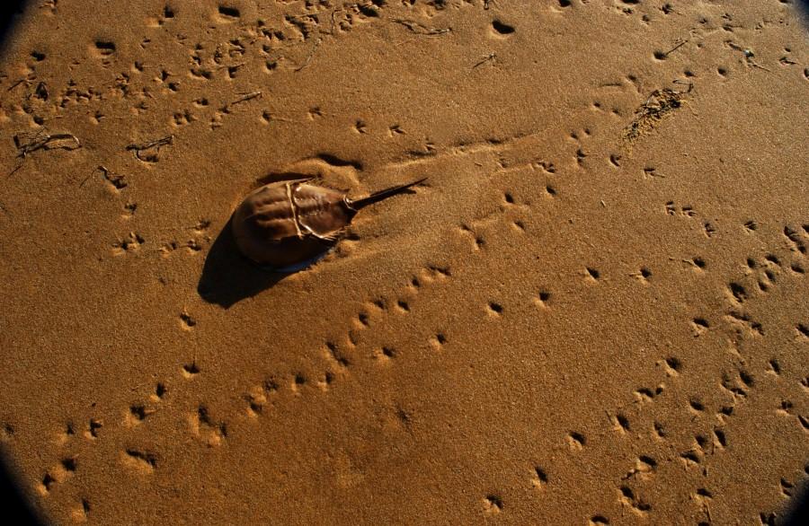Horseshoe crab, Lobsterville beach, Martha's Vineyard, Massachusetts, USA.  March 2008.