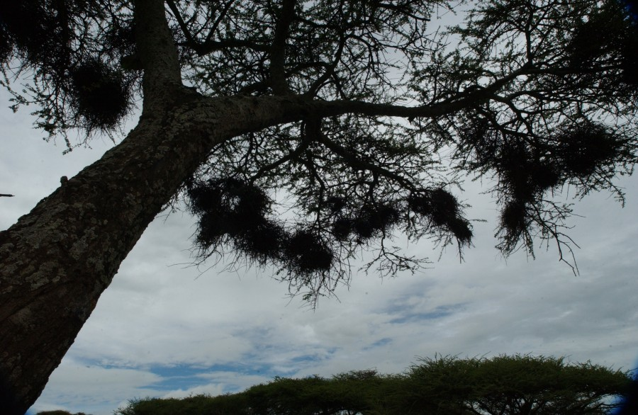 Weaver bird nests, Serengeti Plain, Tanzania, Africa.  December 2006.