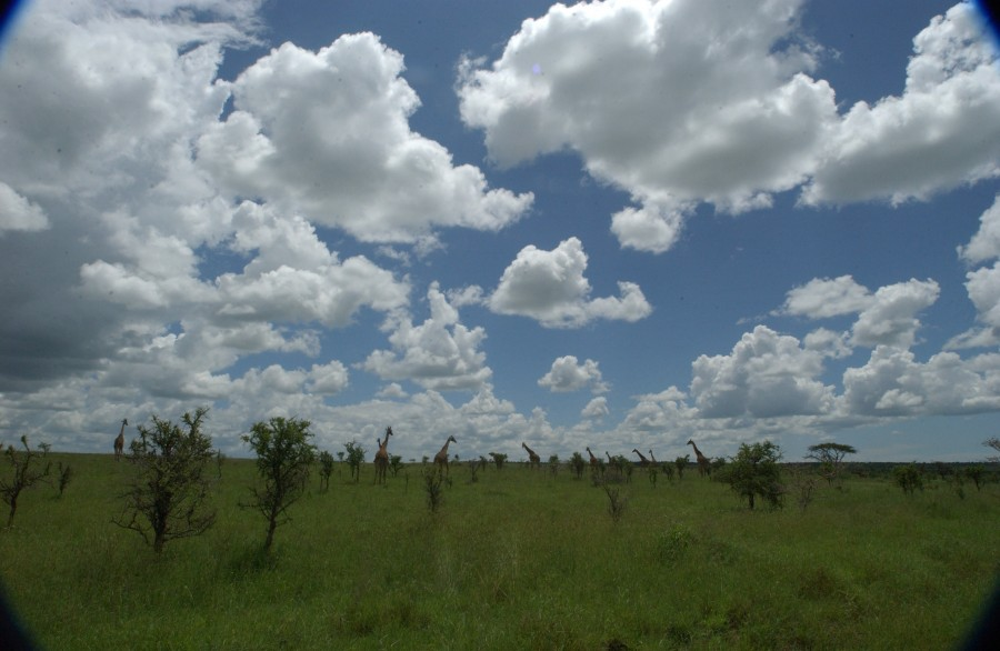 Giraffes on the move under a spectacular sky, Serengeti National Park, Tanzania.  January 2007.