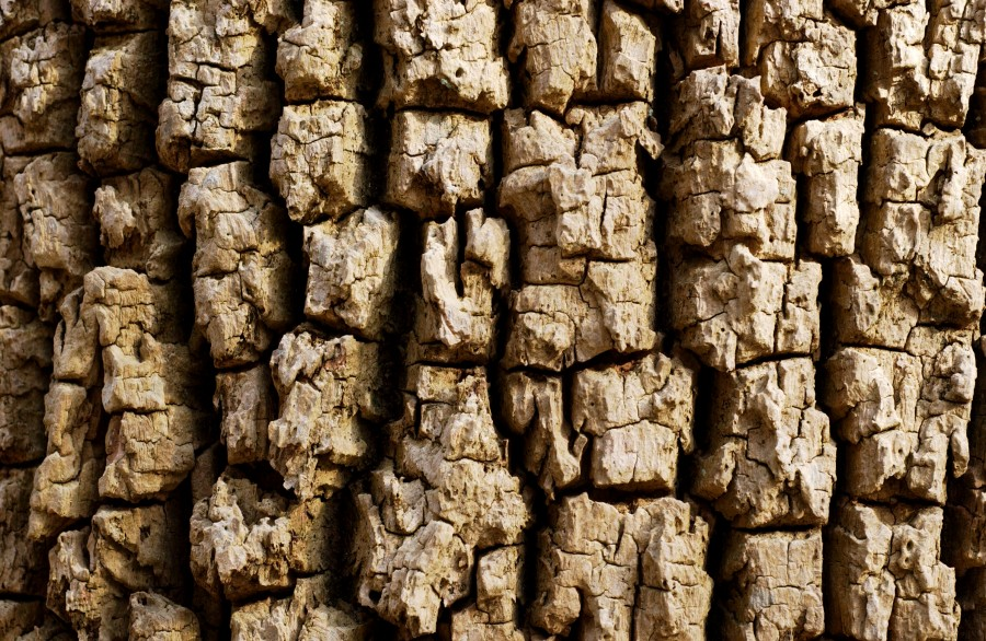 Detail; knobby, fractured, tree bark in late winter along Wissahickon Creek, Fairmount Park, Philadelphia, Pennsylvania, USA.  March 2009.